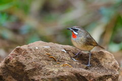 Luscinia calliope Siberian Rubythroat ,Birds. The birds in the nature of Thailand Royalty Free Stock Images