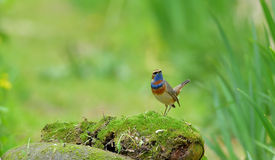 Luscinia för blå hals Fotografering för Bildbyråer