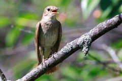 Luscinia Luscinia, τσίχλα Nightingale Στοκ Φωτογραφίες