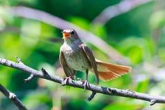 Luscinia Luscinia, τσίχλα Nightingale Στοκ εικόνα με δικαίωμα ελεύθερης χρήσης