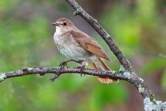 Luscinia Luscinia, τσίχλα Nightingale Στοκ φωτογραφίες με δικαίωμα ελεύθερης χρήσης