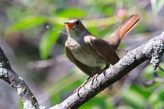 Luscinia luscinia, Thrush Nightingale. Luscinia luscinia. The Thrush Nightingale perching on a branch of the tree Royalty Free Stock Photo