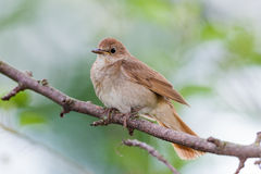 Luscinia luscinia, Thrush Nightingale Stock Images