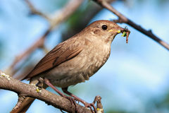 Luscinia luscinia, Thrush Nightingale Royalty Free Stock Images