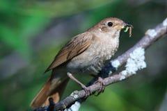 Luscinia luscinia, Thrush Nightingale Stock Photos