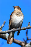 Luscinia luscinia, Thrush Nightingale Royalty Free Stock Photo