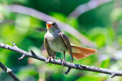 Luscinia luscinia, Thrush Nightingale. Luscinia luscinia. The Thrush Nightingale perching on a branch of the tree Royalty Free Stock Image