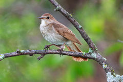 Luscinia luscinia, Thrush Nightingale