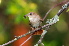 Luscinia luscinia, Thrush Nightingale Stock Photo
