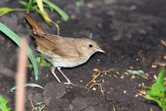 Luscinia luscinia, Thrush Nightingale Stock Photography