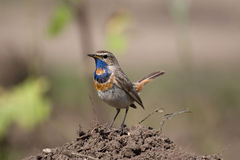 Luscinia svecica, bluethroat. Bird (Luscinia svecica bluethroat) on the ground royalty free stock image