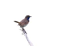 Luscinia svecica. Bluethroat sits on dry branch plants on white background Royalty Free Stock Photography