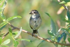 Lusciniasvecicapallidogularis Den kvinnliga fågeln i sommarnollan Royaltyfri Foto