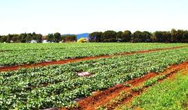 Luscious зеленая плантация клубники Стоковые Фото