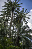 Luscious пальмы Стоковые Изображения RF