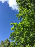 Luscious colours of summer. Summer nature: green tree and blue sky Royalty Free Stock Images