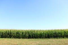 Luscious cornfield Stock Image