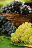 Luscious grapes. Bunches of ripe and luscious grapes, yellow and blue royalty free stock image