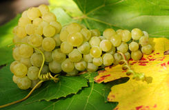 Luscious grapes. Bunch of ripe and luscious grapes stock images