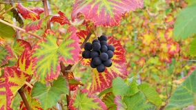 Luscious grapes Stock Photography