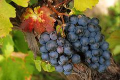 Luscious grapes in autumn. Bunch of ripe and luscious grapes and autumn colored leaves royalty free stock images