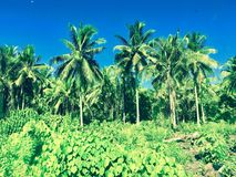 Samoa jungle. Luscious palm trees in the jungle of Samoa Royalty Free Stock Image