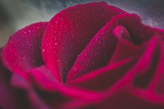 Purple red rose covered in dew decadent and nostalgic glamour shot. Luscious purple rose wet with dew in macro shot revealing sensual forms Stock Image
