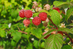 Luscious Raspberries in the sunlight Royalty Free Stock Image