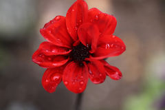 Luscious red. Flower with rain beads stock image