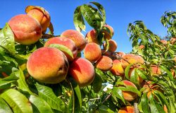 Luscious ripe peaches. Hanging from branch during fall in Massachusetts stock photos