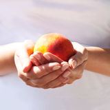 Luscious, velvety peach in the gentle hands Royalty Free Stock Photography