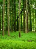 lush зеленого цвета пущи Стоковая Фотография