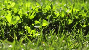 lush зеленого цвета травы сток-видео