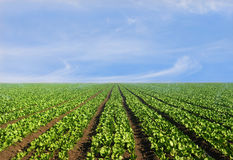 Lush agricultural field of lettuce Royalty Free Stock Images