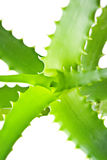 Lush aloe vera plant Stock Photo