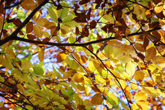 Lush autumn tree Royalty Free Stock Photos