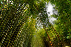 Lush bamboo forest. Lush green bamboo forest in spring Stock Image