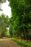Lush bamboo forest Royalty Free Stock Photo
