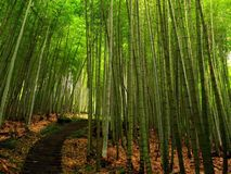 Lush Bamboo Forest Stock Photo