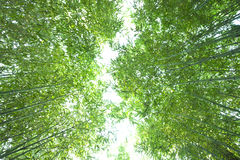 Lush bamboo forest  from bottom view Stock Photo
