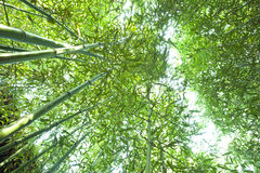 Lush bamboo forest  from bottom view Stock Image