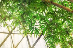 Lush bamboo tree Royalty Free Stock Photos