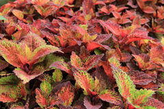 Lush bed of colorful Coleus Royalty Free Stock Images