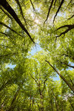 Lush Beech Forest Canopy Stock Photography
