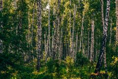 Birch Grove in Sunlight. Lush birch grove in summer sunny day stock images