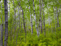 Lush Birch Stand Stock Photo