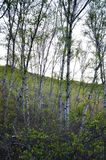 Green birch trees in the forest stock image