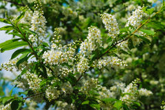 Lush bird cherry tree branch with flowers Stock Images
