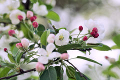 The lush blooming of the Apple tree. Flowering branch of Apple tree royalty free stock photography