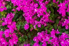 Lush blooming of Bougenvillea climbing plant on the wall of a house in a southern country stock images